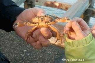 texel-krabbe-kueste
