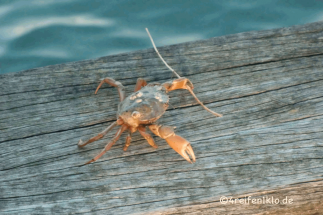 texel-krabbe-rettung